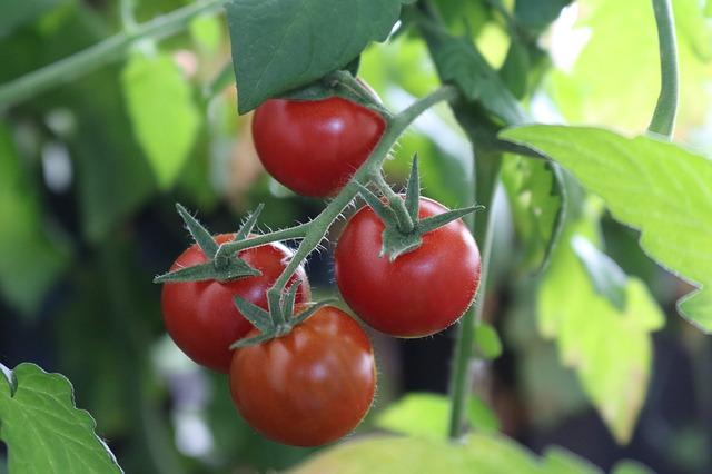 keříková rajčata.jpg