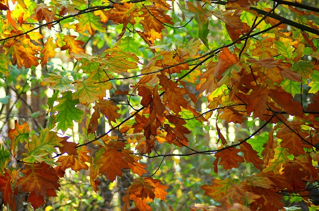 Podzimní listoví dubu