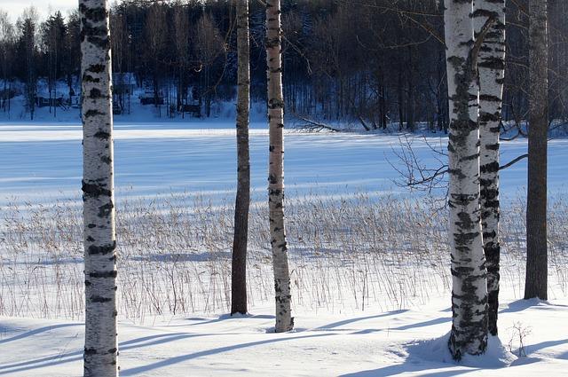 Břízy v zimě