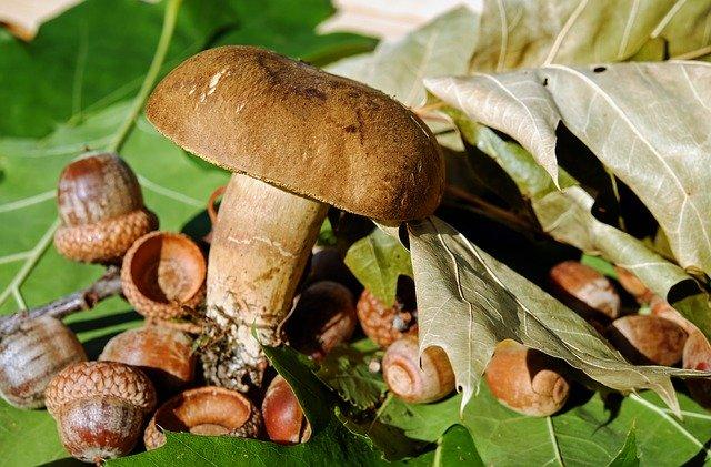 houba mezi žaludy