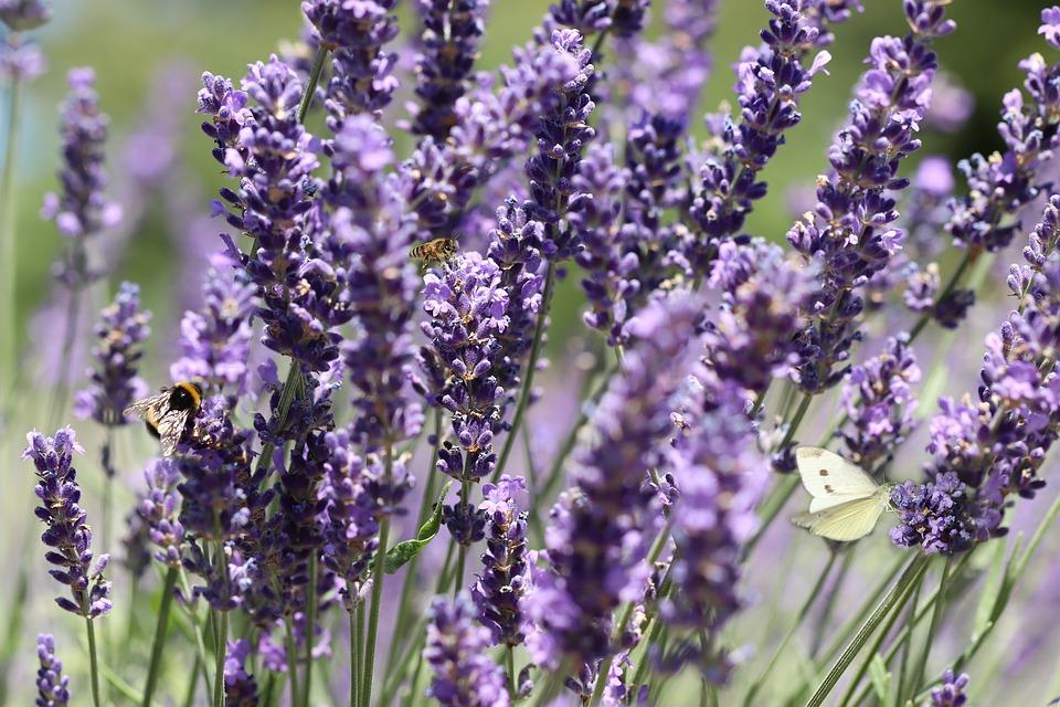 lavender-4348354_960_720